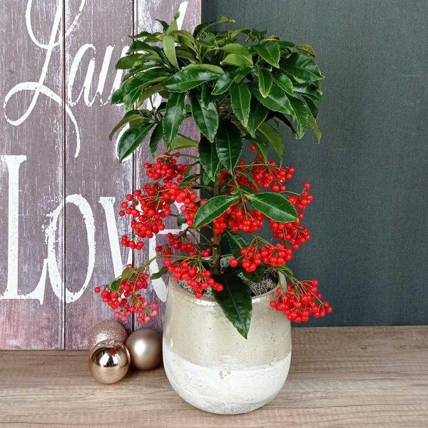 ardissia-planta-interior-fruits-vermells-regal-floristeria-les-flors-igualada