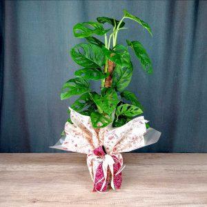 monstera-obliqua-planta-interior-les-flors-igualada
