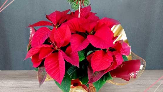 plantes-decoracio-nadal-les-flors-igualada