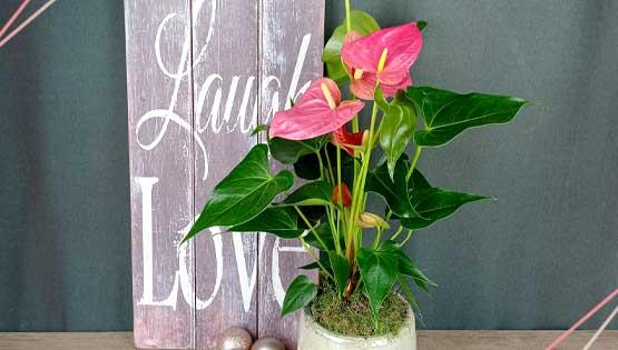 anturium-planta-semana-les-flors-igualada