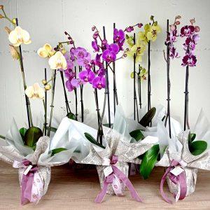 orquidia-phalenopsis-reina-plnatasfloristeria-les-flors-igualada