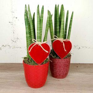 sansaviera-test-ceramica-floristeria-les-flors-igualada