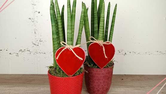 sansaviera-top-vendes-les-flors-igualada