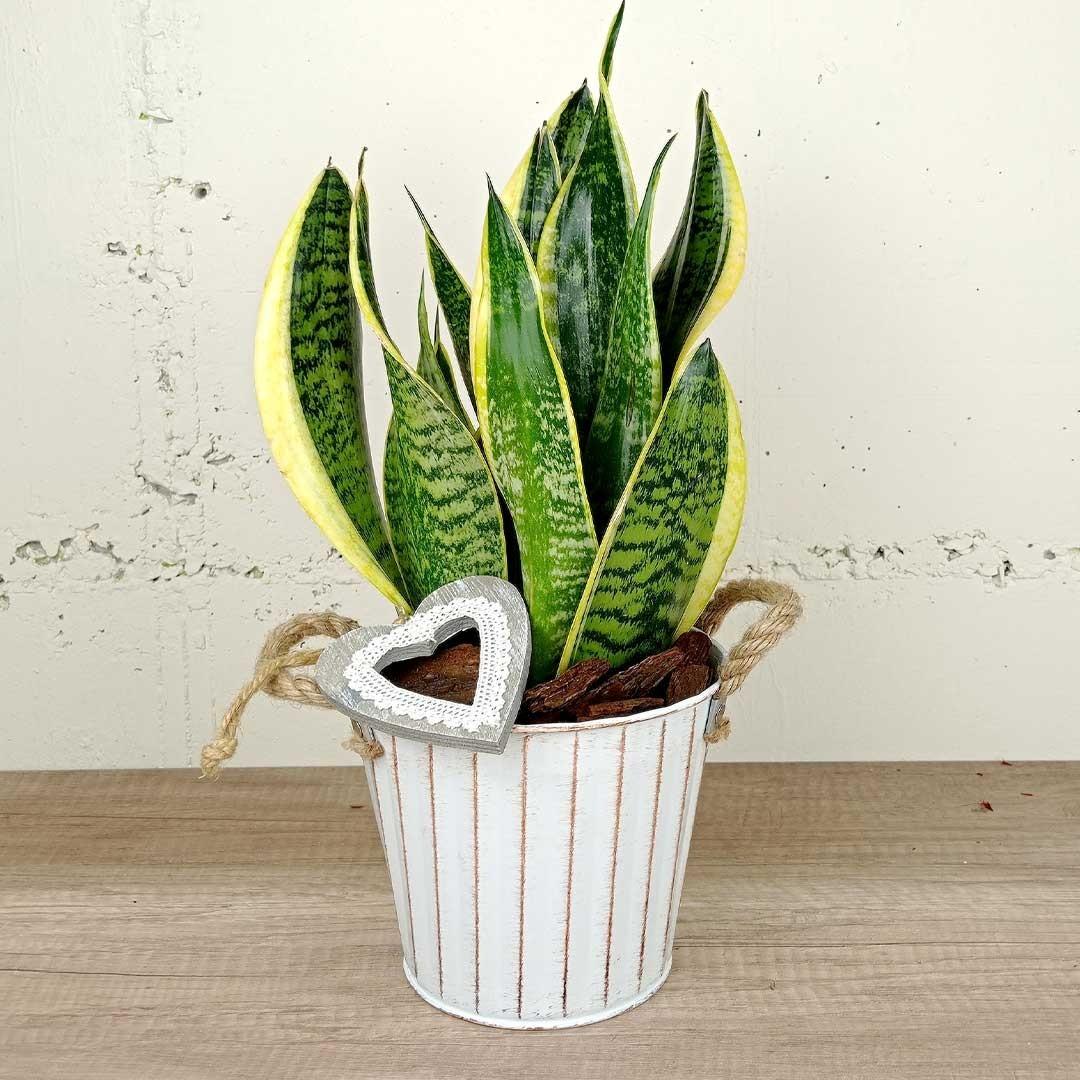 sansaviera-llautó-planta-floristeria-les-flors-igualada