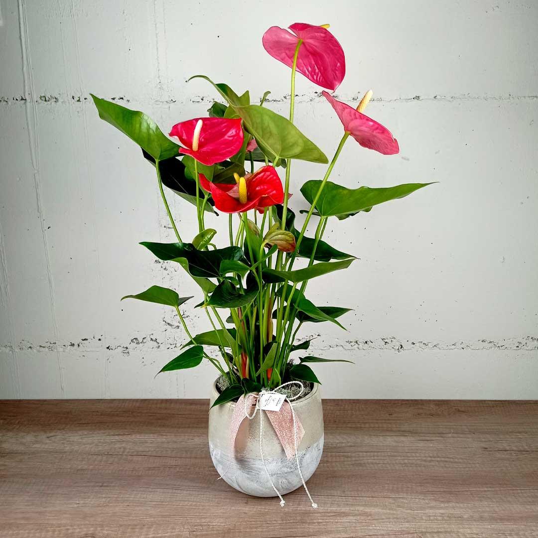 anturium-ceramica-sant-valenti-planta-floristeria-les-flors-igualada