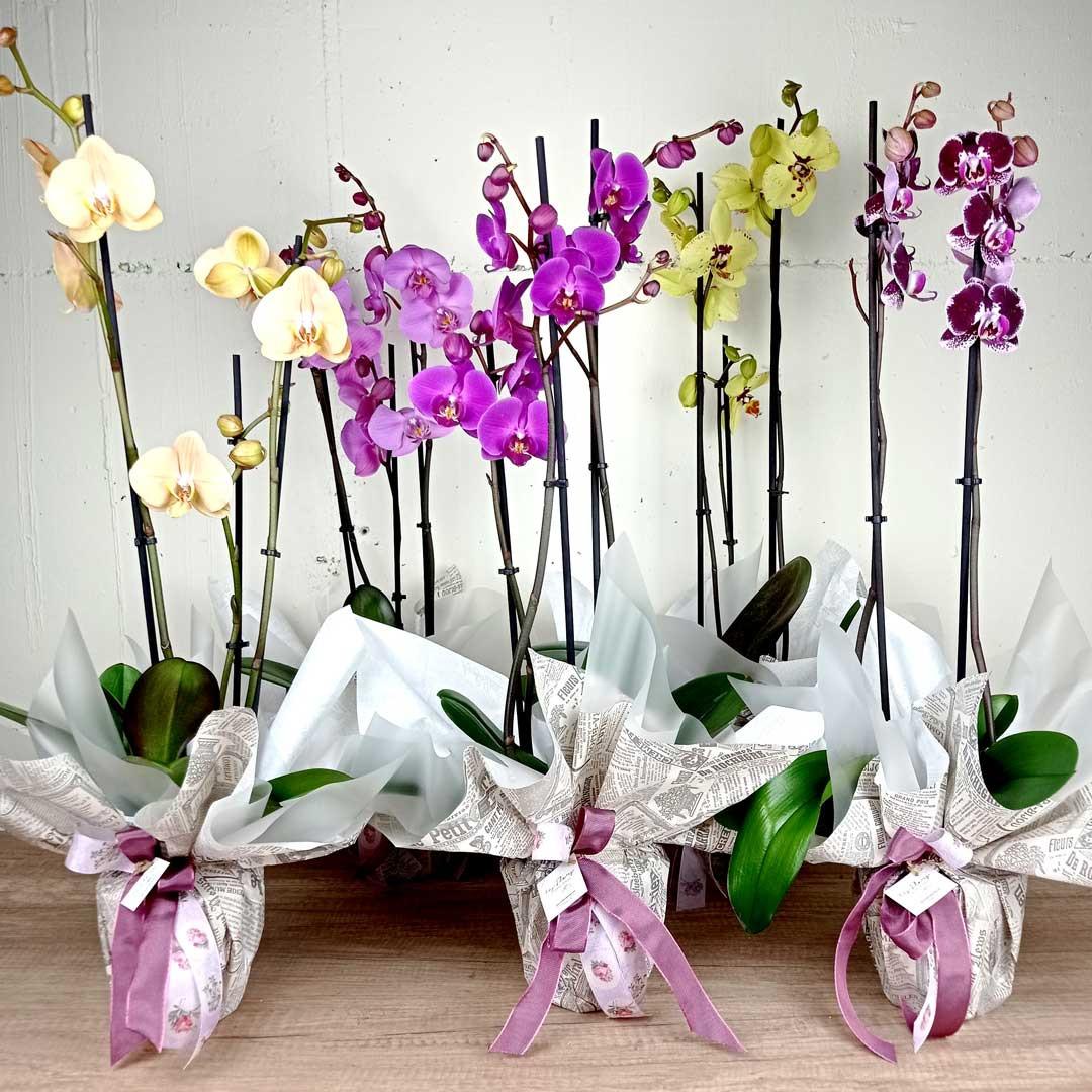 orquidea-phalenopsis-planta-floristeria-les-flors-igualada